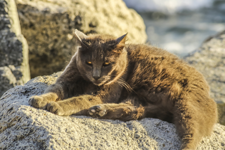 wild cat: Golden wild cat at white point beach, San Pedro, CA. USA. Stock Photo