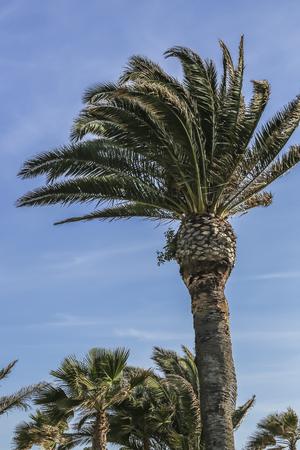 ca: Palms tree at White Point Beach, San Pedro, CA. USA Stock Photo