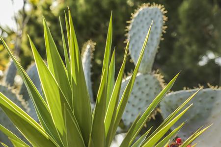 san pedro: Cactus plants at White point garden, San Pedro CA. USA