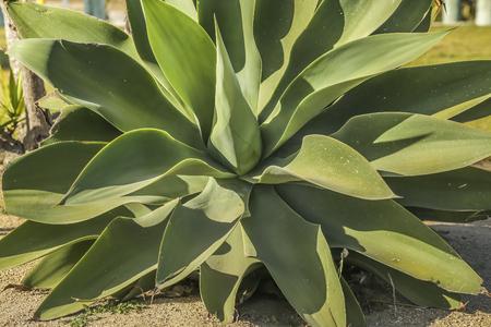san pedro: Large plant close up at White point beach, San Pedro CA. USA. Stock Photo