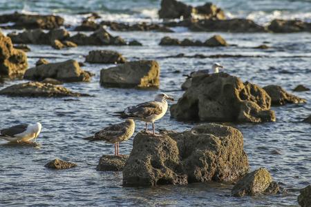 san pedro: Seaguls at the rocky shore, San Pedro, CA. USA.