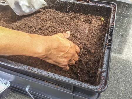 Selecting worm from compost at Westcovina, CA. USA
