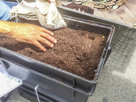 weevils: Selecting worm from compost at Westcovina, CA. USA.