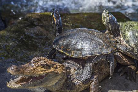 Nicaraguan Caiman crocodilus and turtles  ,Granada, Nicaragua