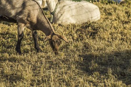 Goat eating grass at Paonia farm, Paonia, Colorado, USA, Imagens