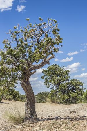Isolated tree at eagle canyon, Utah, United States of America