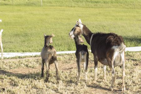 Goat farm at Paonia, Colorado, USA