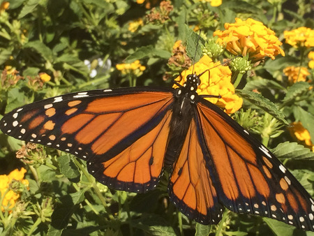 Monarch extended wings