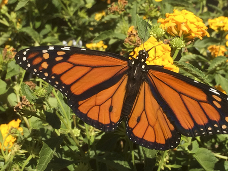 Monarch dotted  extended wings Imagens