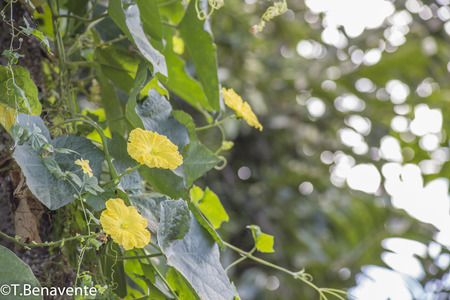 Ometepe Island yellow wild flowers, Rivas, Nicaragua
