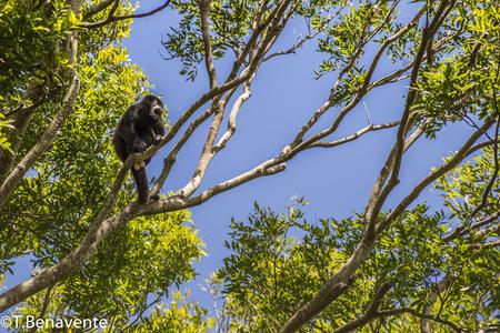 Congo Monkey  howling at Ometepe Island, Rivas, Nicaragua.