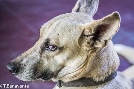 Brown dog  head shot