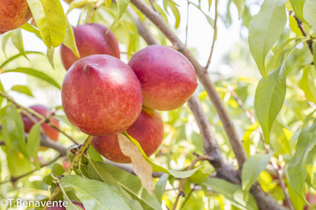 Delicious peaches on a tree branch at a home garden in Los Angeles county