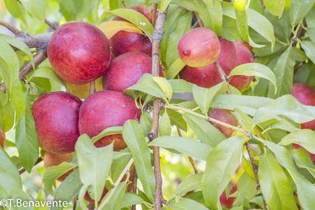 colors, deciduous tree, draft, edible, fruit, genome, Green, juicy, juicy fruit, native, nectarine, Northwest China, peach, plant, plantae, Prunus persica, red, rosaceae, tree, tree branch
