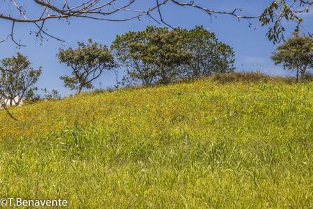Wild yellow flowes at the Estanzuela natural reserve, Esteli, Nicaragua