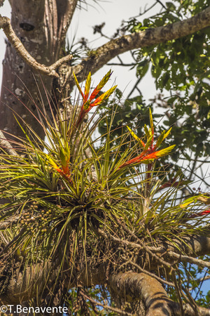 Exotic plants growing on the tree branches at the Estanzuela natural reserve, Esteli, Nicaragua