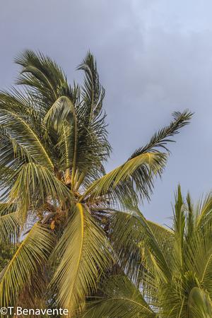 Cocunuttrees at Moyogalpa, Ometepe Island, Nicaragua. Imagens