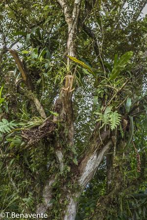 Plants growing on tree  branches  at the Peñas Blancas Massif natural reserve, Jinotega, Matagalpa,Nicaragua