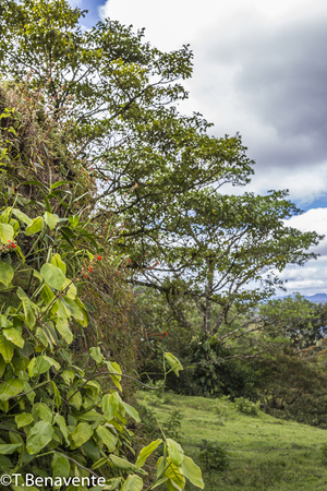 Plants and their own habitat  at Peñas Blancas Massif natural reserve,  Jinotega, Matagalpa, Nicaragua