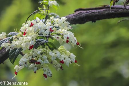 White and red flowers bouquet, Peñas Blancas Massif natural reserve,  Jinotega, Matagalpa, Nicaragua Imagens