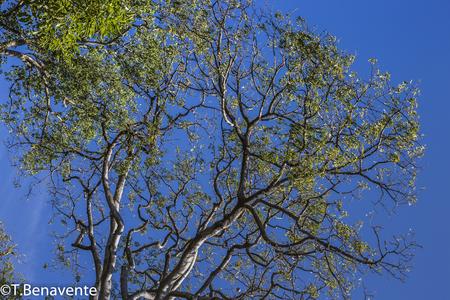 Balgue tollest tree Ometepe Island, Rivas, Nicaragua