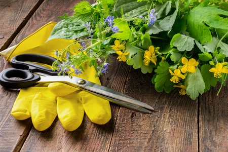 bactericidal: Freshly harvested medicinal herbs (celandine, Veronica Chamaedrys, nettle, plantain), household gloves and scissors on the wooden table Stock Photo
