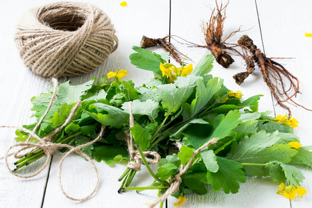 bactericidal: Bunches celandine, tied with string, and roots on a white wooden table - harvesting for herbal medicine. Selective focus