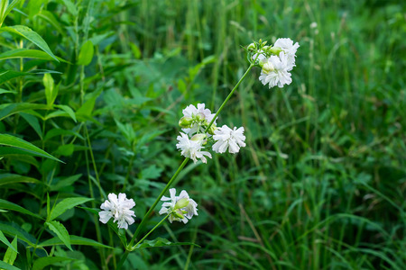 antirheumatic: Saponaria officinalis branch with flowers (soap grass) in the natural environment Stock Photo