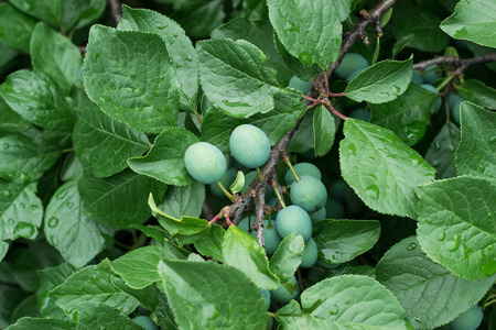 maturation: Green blackthorn berries on a branch in a garden at the stage of maturation Stock Photo