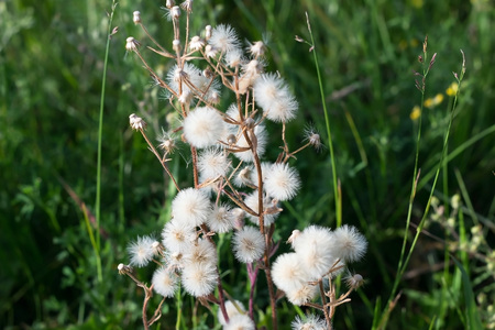 fluffy tuft: Plant with white parachutes like dandelion (Cupids shaving brush) grows on a meadow. Selective focus