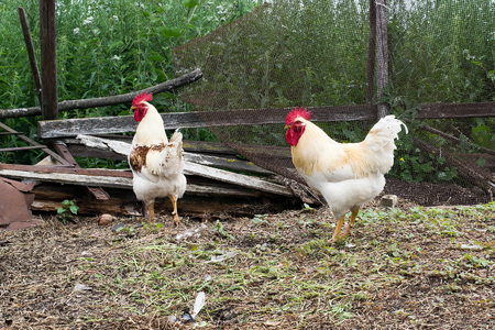natural cock: Two white cock about a broken fence in a natural rural environment