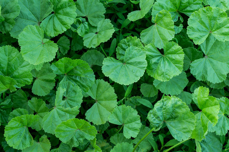 alchemilla vulgaris: Medicinal herb ladys mantle in the natural environment of growth
