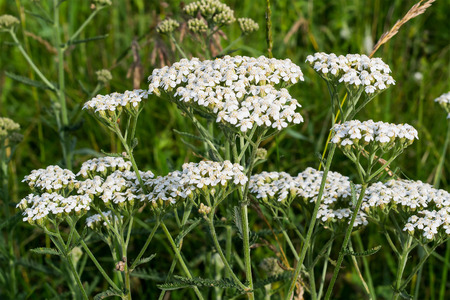 milfoil: Yarrow grows on a meadow in the natural environment. Selective focus