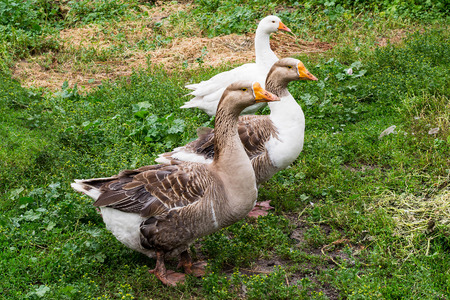 cackle: Domestic geese walking on grass in the yard
