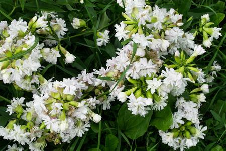 antirheumatic: Flowering Saponaria officinalis (soap grass) growing in a natural environment