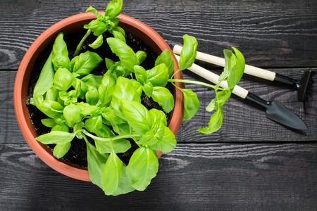 Groeien basilicum in een bloempot thuis. Tuingereedschap voor potplanten: schop en hark Stockfoto
