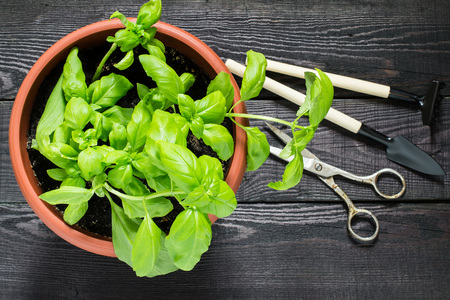 Wachsende Basilikum in einem Blumentopf zu Hause. Gartengeräte für Topfpflanzen: Schaufel, Rechen und Schere