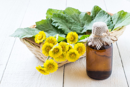 expectorant: Medicinal plant � coltsfoot (Tussilago farfara). The infusion, leaves and flowers in a basket. Selective focus