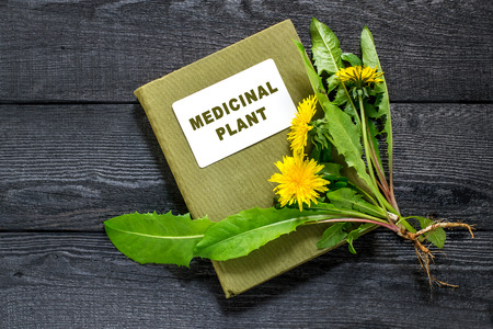 antispasmodic: Medicinal plant dandelion (Taraxacum officinale) and herbalist handbook on the old wooden table. Dandelion - edible plant and nectariferous Stock Photo