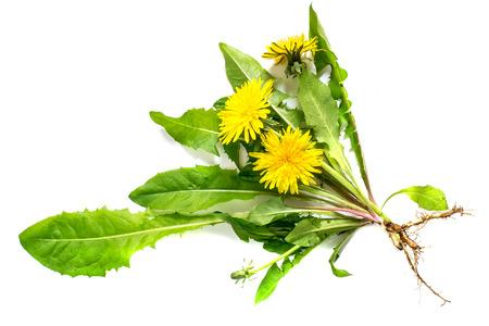 Diente de león planta medicinal (Taraxacum officinale) sobre un fondo blanco. Diente de león - comestible de origen vegetal nectariferous