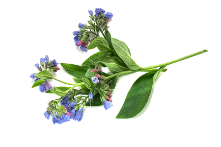 promotes: Medicinal plant comfrey (Symphytum officinale) on a white background. It is used for outdoor applications, promotes splicing bones. Caution, there are contraindications