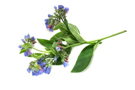 Medicinale plant smeerwortel (Symphytum officinale) op een witte achtergrond. Het wordt gebruikt voor buitentoepassingen, bevordert splicing botten. Let op, er zijn contra-indicaties