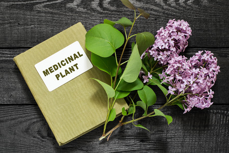 herbalist: lila medicinal planta (Syringa) y el manual de herbolario. Se utiliza en la medicina natural y para la preparaci�n de cosm�ticos y perfumer�a
