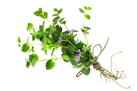 ascorbic acid: Medicinal plant Glechoma hederacea on a white background