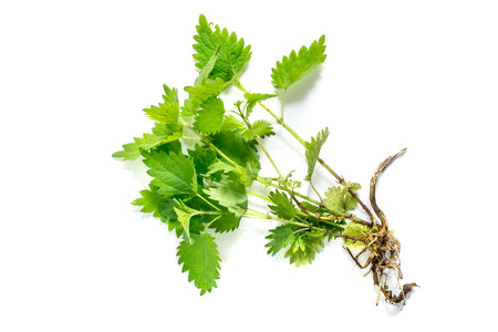 formic: Medicinal plant nettle (Urtica dioica) on white background. It is used in food preparation and production of fabrics