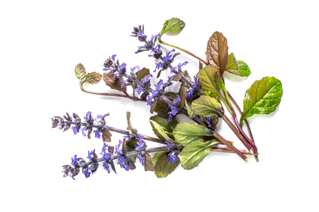 edible plant: Medicinal plant Ajuga reptans on white background. Ajuga reptans - edible plant, nectariferous and is used in horticulture