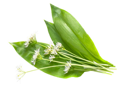 edible plant: Medicinal plant ramson (allium ursinum) isolated on white background. Ramson - edible plant, nectariferous and is used in horticulture Stock Photo