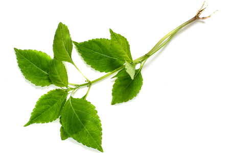 anticoagulant: Medicinal plant Goutweed (Aegopodium) on a white background. Used in herbal medicine, cooking, bee plant