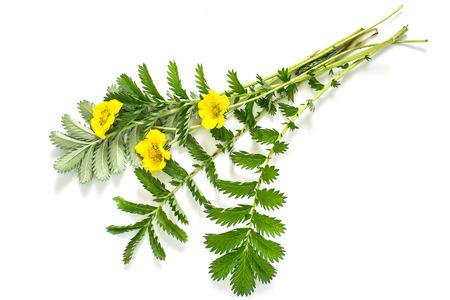 Heilpflanze Silverweed (Potentilla anserine oder Argentinien anserina) auf einem weißen Hintergrund. In Kräutermedizin verwendet, Bienenpflanze