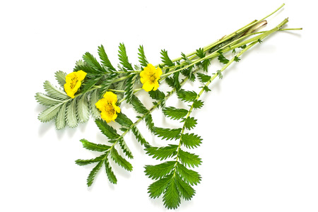 Medicinal plant Silverweed (Potentilla anserine or Argentina anserina) on a white background. Used in herbal medicine, bee plant